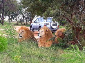Lion Park Half Day Afternoon Safari