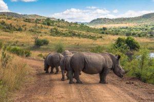 rhinos-Pilanesberg National Park