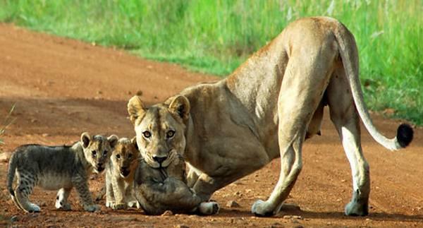 Pilanesberg National Park lion