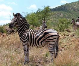 Pilanesnerg National Park Safari